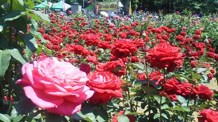 薔薇祭り2