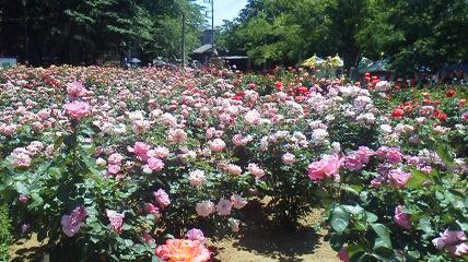 薔薇祭り3